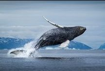 Whales / The seas around Greenland are teeming with whales. Greenlandic waters have 15 different species of whale including the humpback and the beluga.