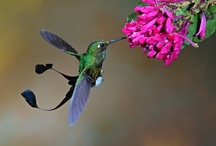Hummingbirds / Lovely to behold! Thanks for sharing! / by Maly Low