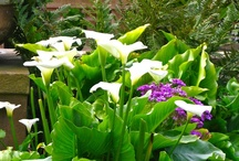 Calla Lilies / Beautiful in my garden! Thanks for sharing! / by Maly Low