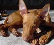 Favorite dog breeds / Dog breeds I´ve considered