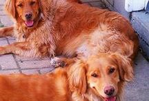 Just Goldens / by Dawn Dembiec