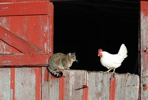 Landleven: kippen