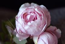 Bloemen: rozen