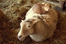 Landleven: schapen