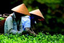 Tea Gardens / The most beautiful tea gardens in the world - Darjeeling, Assam, Sri Lanka and Taiwan