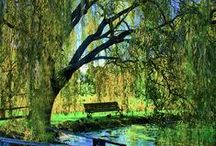 """Weeping Willows"" / by Anne Carothers"