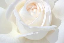 Bloemen/Flowers  / by Gerrie Jurriens