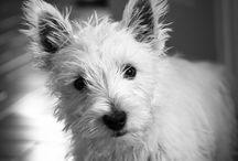 westies / Miss you my little Casper Kuchifrito / by Mercedes Taylor