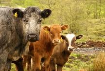 Famous Cows