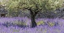 Nature - Lavender Beauty / Pictures that create a (the) sense of what Lavender is about.....