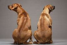 Dogs | Rhodesian Ridgebacks