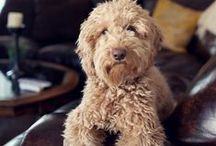 Dogs | Wheaten Terrier