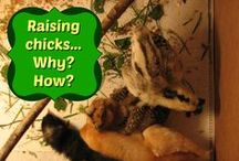 Pets & Poultry / info on all things animal, especially our feathered friends--chickens!