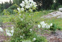 Puutarhakasvit trädgårdsväxter / Kukkia, puita ja pensaita perennier, buskar, träd