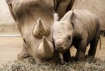 Precious rhino