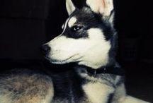 Huskies / Huskies