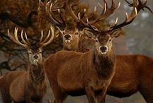 Ciervos y venados