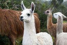 Llamas, alpacas guanacos