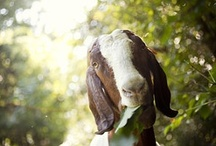 goats are awesome / by Erika