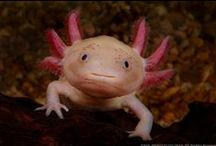 Axolotl <3