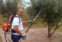 Zeytin hasad çeşitleri / Zeytin Hasadı Şarköy