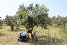 Zeytin ağaçının sürgenlerin temizlenmesi / Zeytin budama zamanı iklim şartlarına ve bölgeye göre değişmektedir. Budama yapıldıktan belli bir süre sonra Zeytin ağacının dip kısmında sürgünler çıkmaktadır. -