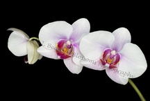 Cultivated orchids