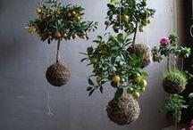 Kokedama Jardim suspenso String Garden Bonsai