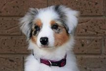 Dogs / We recently got our first dog! Pure-Bred Miniature Australian Shepherd - Blue Merle - BUT here are other dogs we find adorable...