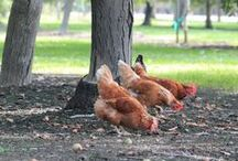 Backyard Chickens / How to care for backyard chickens