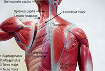Neck & Shoulder Muscles