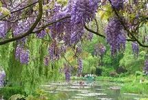 Wisterias in Giverny - and all around the World