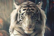 Tiger 2016 / Djuret med Skönhet, Focus & Disciplin