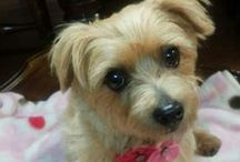 Coco - Norfolk Terrier / Board for pics of Coco, a Norfolk Terrier girl
