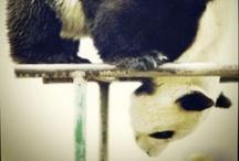 //Panda