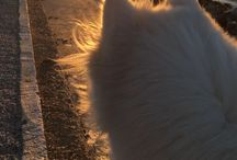 Snow - Samoyed