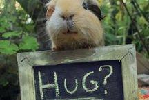 Marsvin & kaniner / Guineapigs & bunnies / Underbara, älskade, egensinniga marsvin! / I love'em!