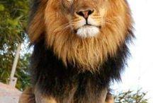 STORA katter / BIG cats