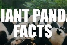 Giant Panda Facts / Celebrate one of the world's cutest animals with these interesting giant panda facts!