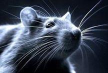 "rat       "" Sciuromorpha 20"