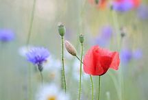 Poppy-Cornflower-Daisy