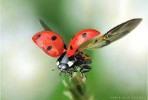 Ladybug, ladybug, fly away home / Joaninha voa, voa O teu pai foi a Lisboa
