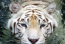 Safe Tiger / My lovable dog is my Part of life...