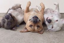 Pitbullssss / Judge the deed not the breed, so give pitbulls a try before sentencing them all to die. / by Victoria Davis