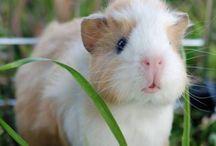 loving guinea pigs