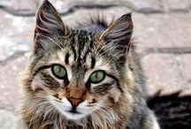Felidae / Felis catusis yourtaxonomicnomenclature  An endothermicquadruped,carnivorousby nature