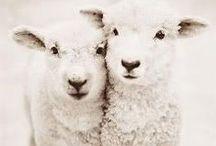 farm / sheep things