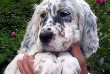 setters&collies / border collie + setter = Wally , my sweet sweet sweet dog...