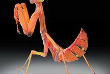 Mantis!!