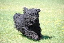 Hungarian PULI dog